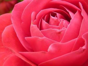 rose-pixabay