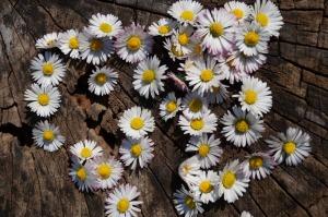Gänseblümchen auf Holzscheibe