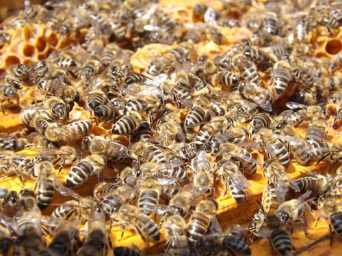 bees-486872_640