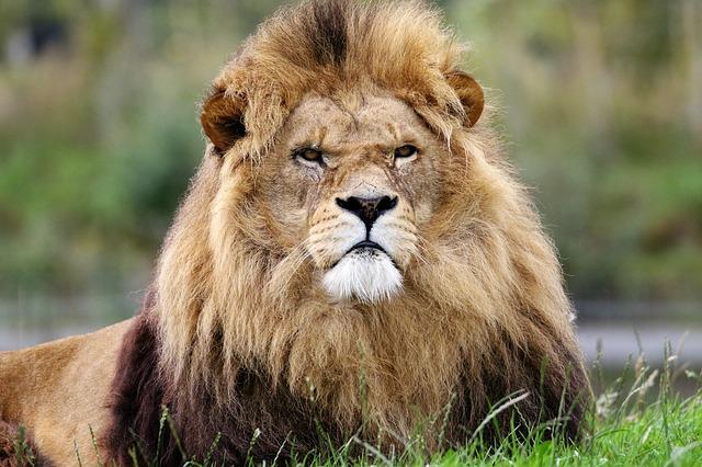 lion-1657947_640.jpg