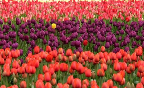 tulips-175605_640.jpg