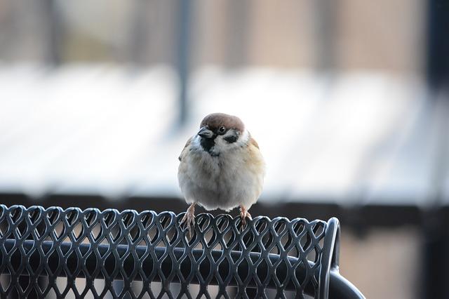 sparrow-2514497_640